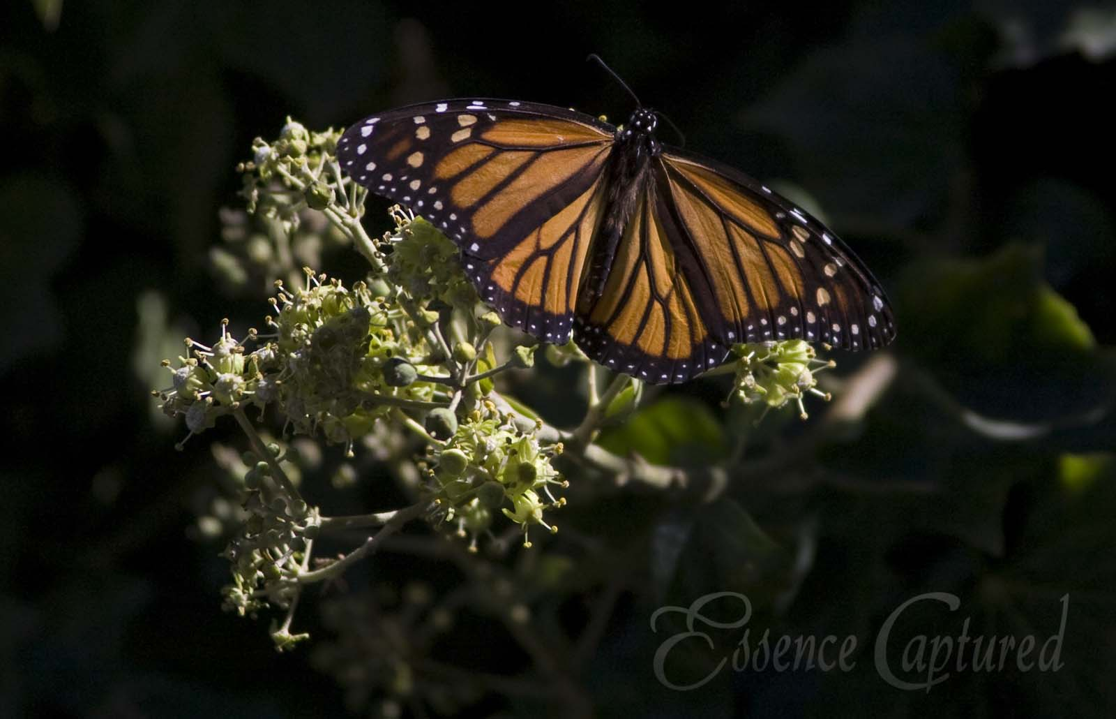Monarch Butterfly on Ivy Blossom Pismo Beach Grover Beach