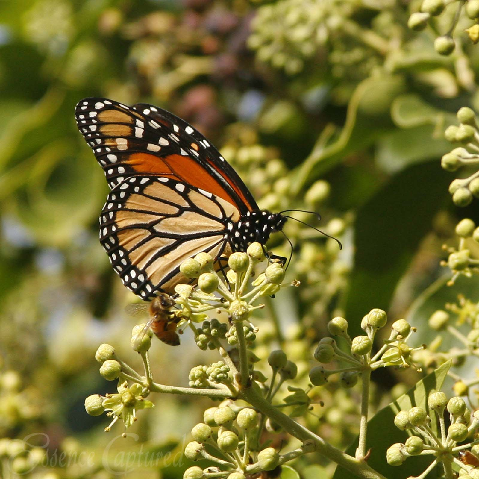 Monarch Butterfly and bee on ivy blossoms Pismo Beach Grover Beach