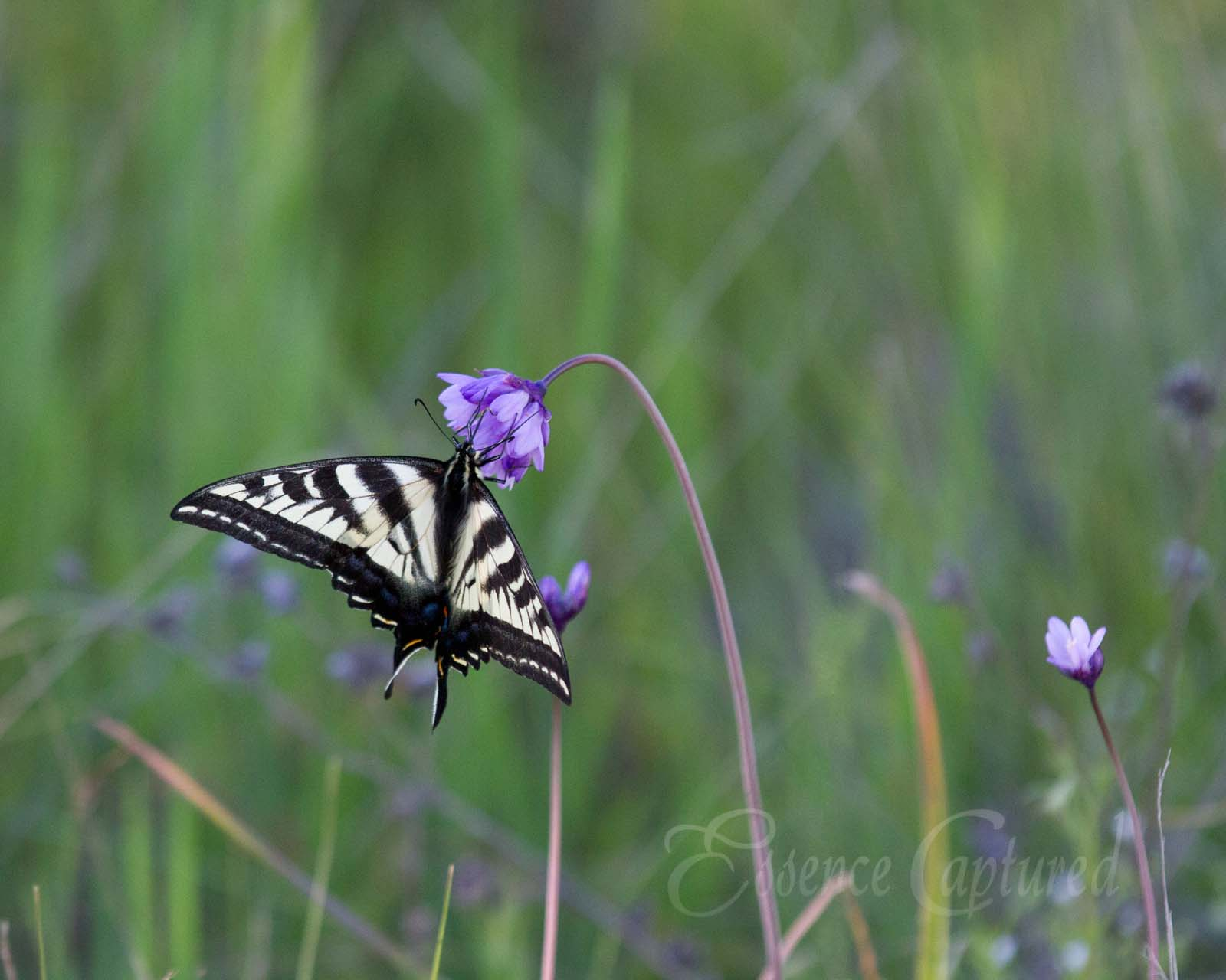 Western Tiger Swallowtail Butterfly yellow and black collecting nectar from purple flower in green field