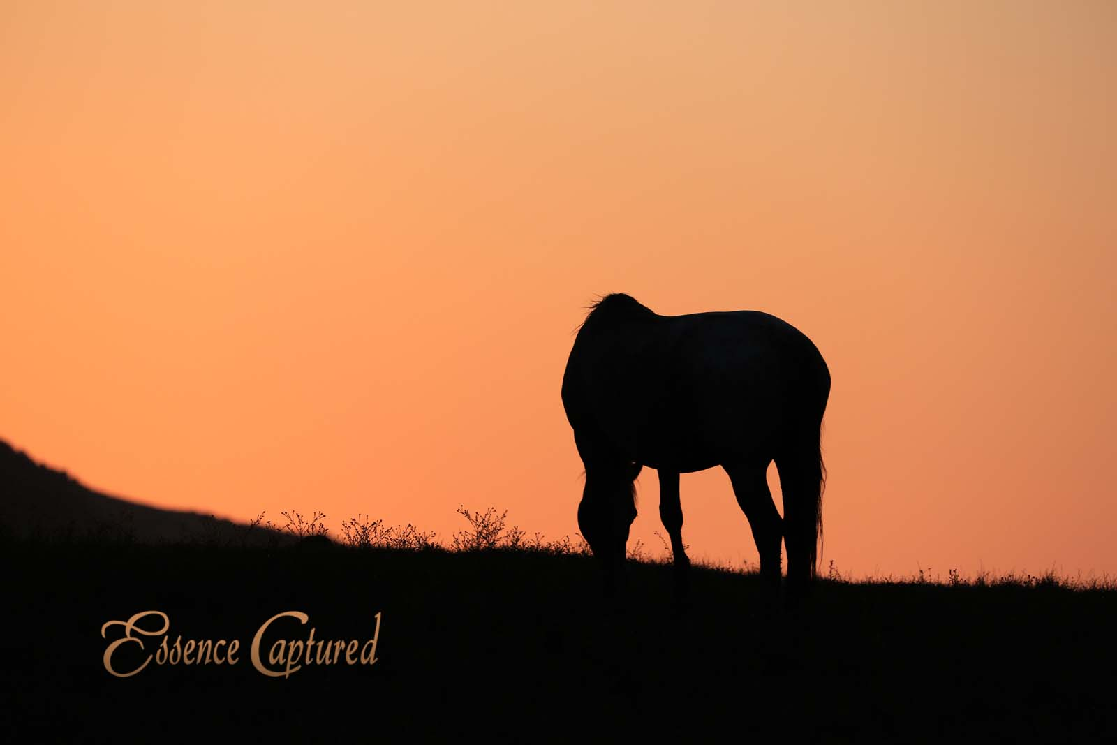 wild horse mustang grazing at sunset silhouette