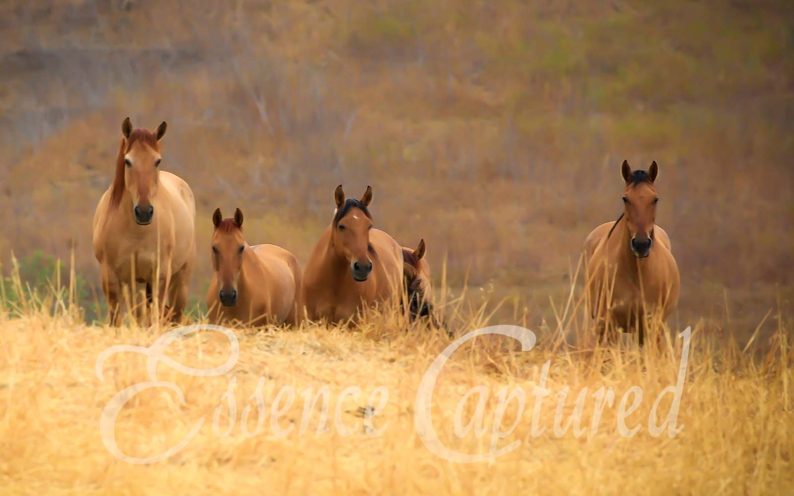 five mares looking at camera in golden grassy field
