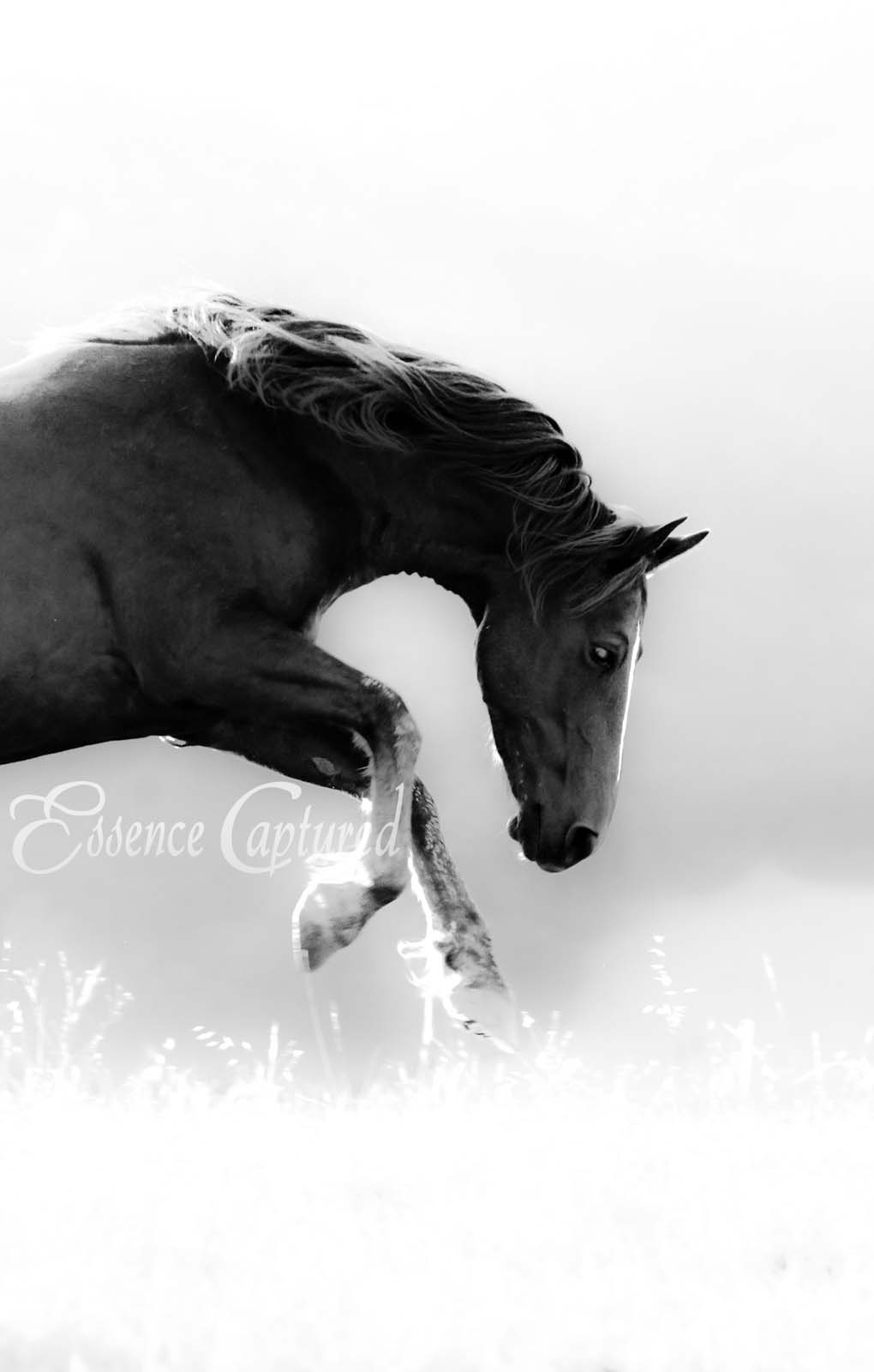 wild horse running in motion black and white mustang