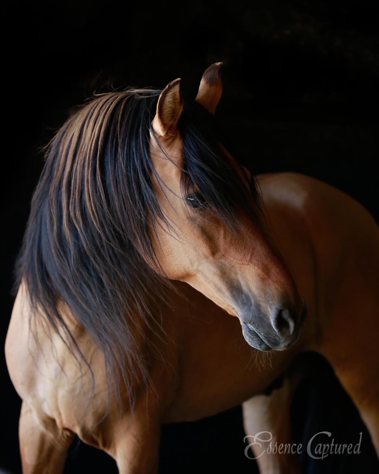 Spirit Kiger Mustang Stallion photographic print